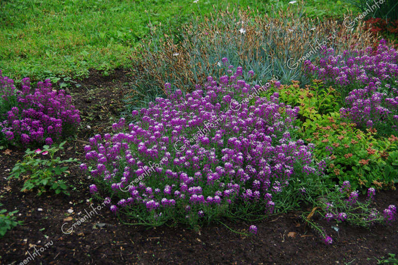 Выращивание иберис зонтичный 39