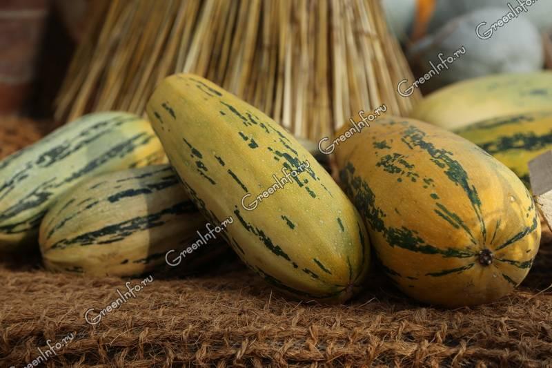 Forum zucchini
