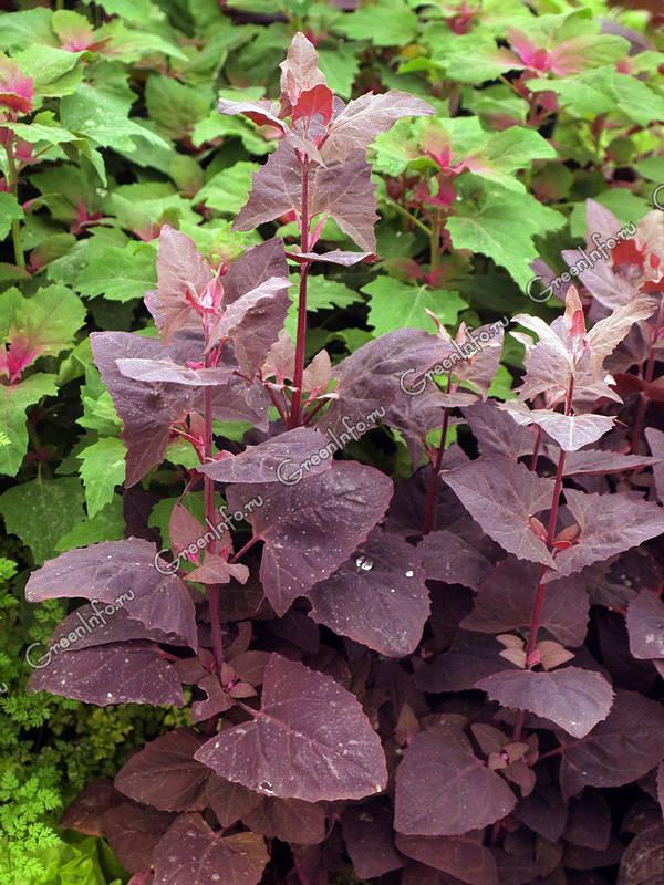 лобода фото растение