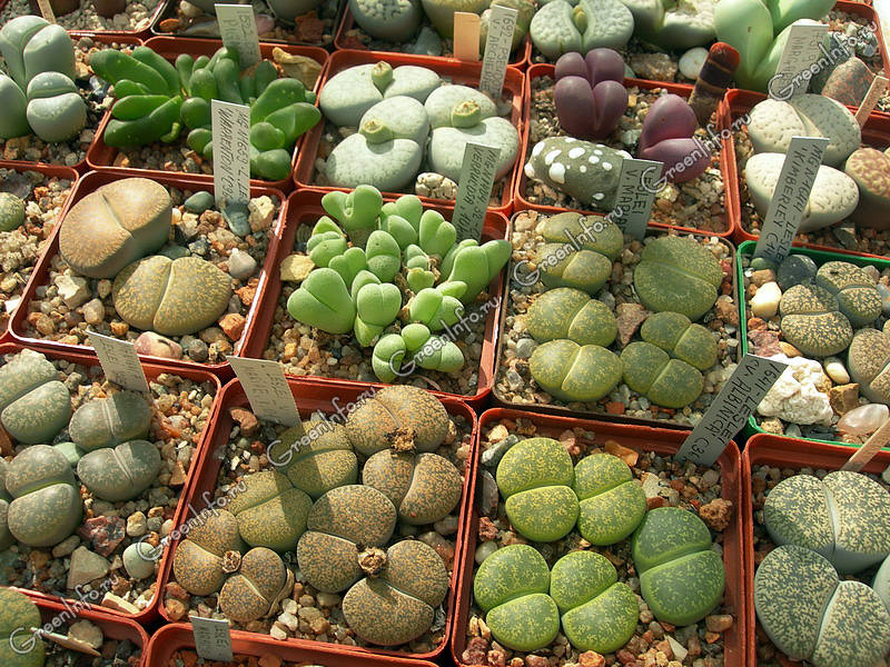Buy Lithops seeds and plants in the Online Shop Conos