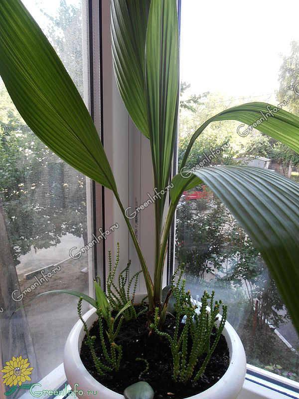 Узнайте больше о куркулиго и правилах выращивания растения