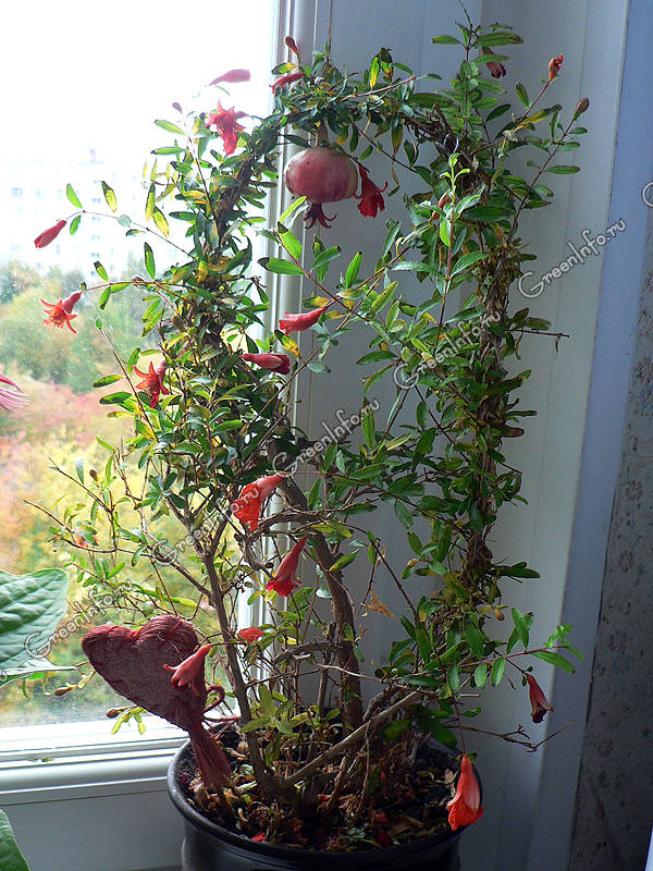 Домашний цветок гранат