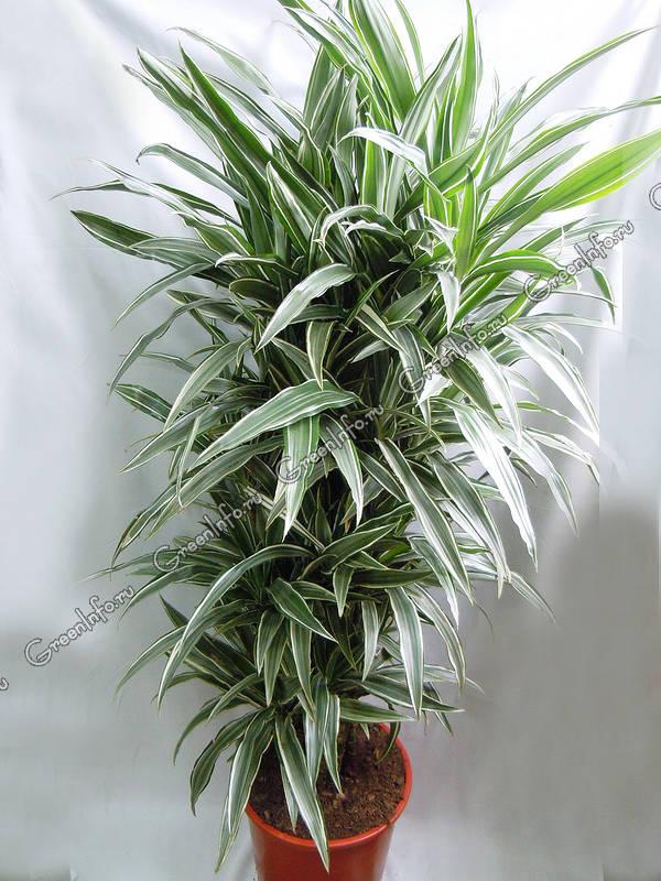 Драцена — ложная пальма. Уход в домашних условиях ...