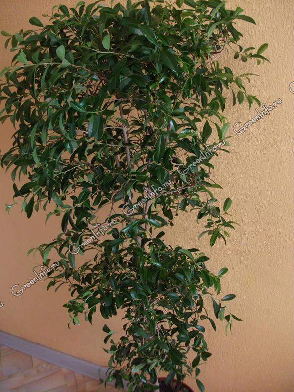 Сизигиум метельчатый, или евгения миртолистная: http://www.greeninfo.ru/indoor_plants/eugenia_myriophylla.html/Article/_/aID/5362