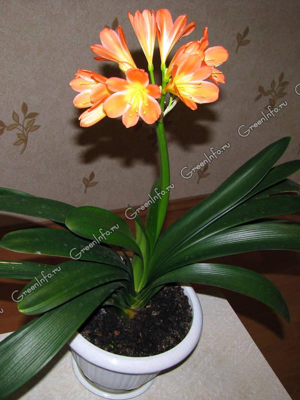 Лилия цветок домашняя