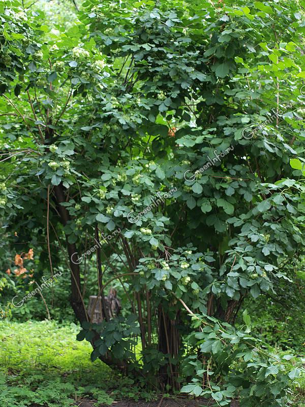 птелея трёхлистная фото