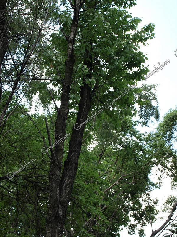фото береза даурская