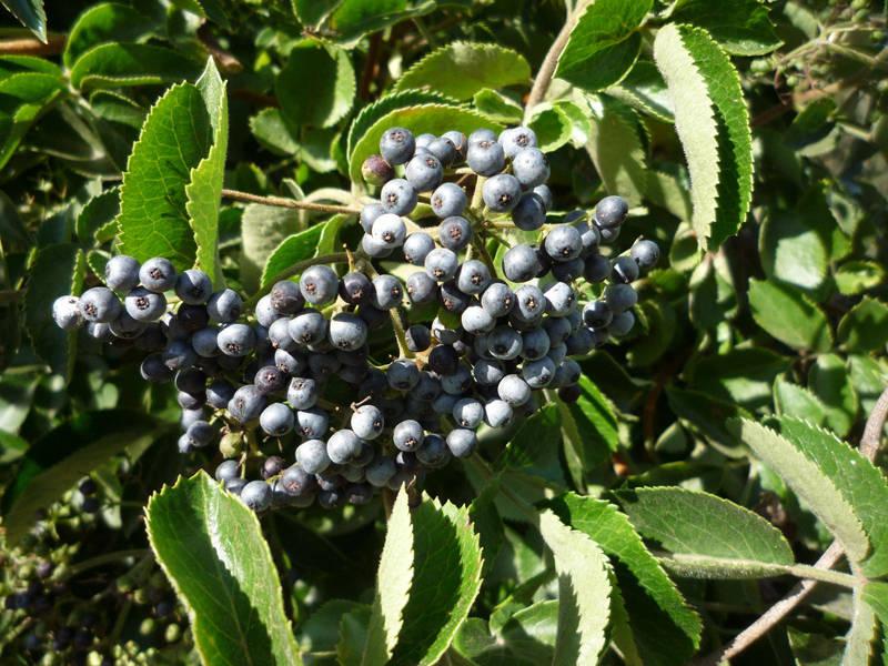 Бузина голубая декоративные деревья и кустарники