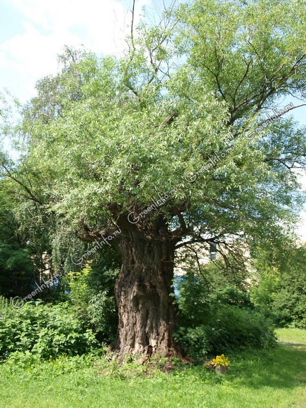 молодой ракита дерево фото как сажать родника построена
