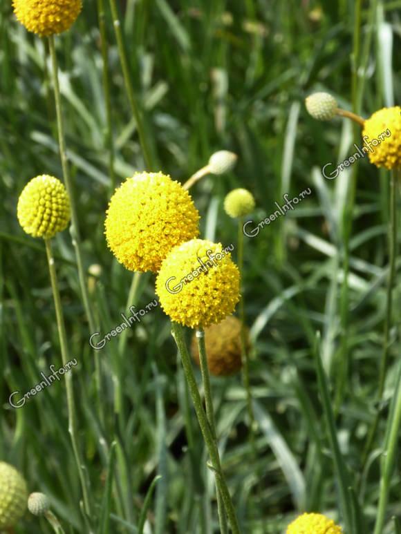 Краспедия фото цветок