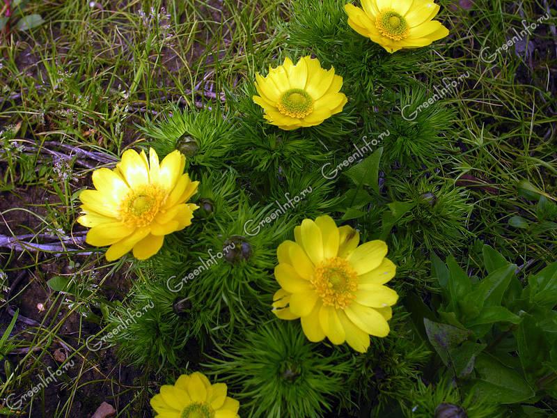 горицвет весенний травянистые растения для открытого грунта