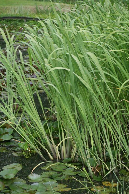 прибрежная трава картинки очень короткой